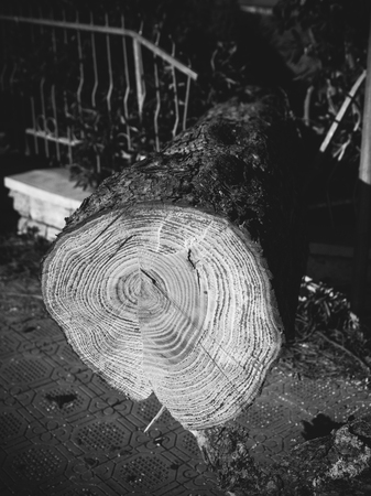 natural disaster: Fallen trees by strong wind, natural disaster theme, shallow depth of field.Black and white conversion Stock Photo