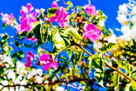 botanics: Bouganville plant against a deep blue sky