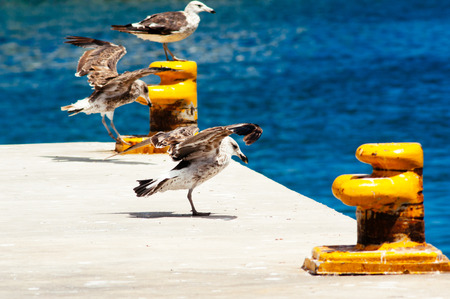 larus: Black backed Gull (Larus marinus) on mooring bollard, Hout Bay, Cape Peninsula, South Africa Stock Photo