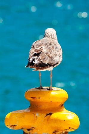 Black backed Gull (Larus marinus) on mooring bollard, Hout Bay, Cape Peninsula, South Africa Imagens