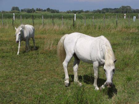 camargue horses photo