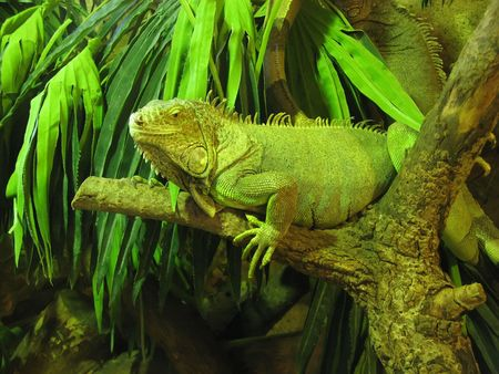 imperturbable: an image of an iguana on a branch