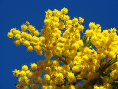 Some mimosa flowers in a Provence blue sky Stock Photo