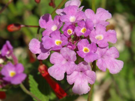 lantana: purple lantana flowers
