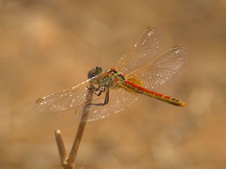 anisoptera: a macro photo of a dragonfly on branch