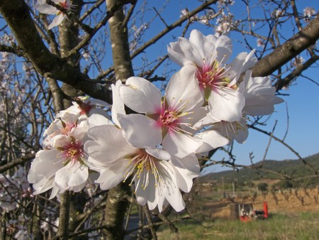 image of some flowers on almond tree branches Stock Photo