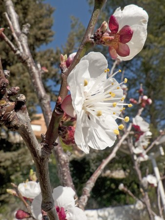flowered: some branches of a flowered apricot tree Stock Photo