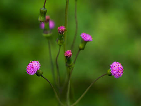 Emilia sonchifolia, also known as lilac tasselflower or cupid's shaving brush . It is a tropical flowering species of tasselflower and in the sunflower family. 写真素材