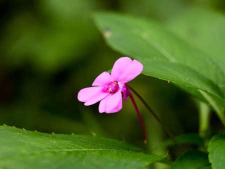 Light pink color impatiens or busy lizzie flower, wild species