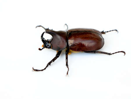 Asiatic rhinoceros beetle or coconut rhinoceros beetle belonging to rhinoceros beetle family, against white background