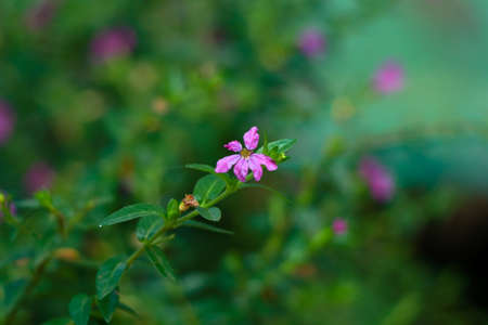 Tiny pink color flower of a bush or hedging plant in the home garden, selective focus
