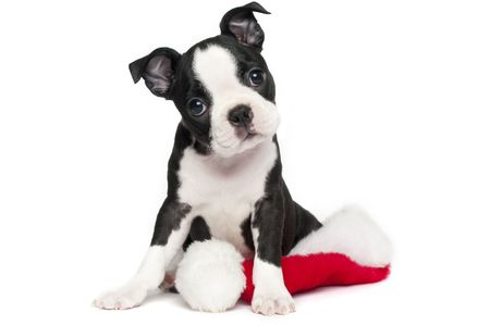 boston terrier: Boston Terrier Puppy on white with a Christmas hat