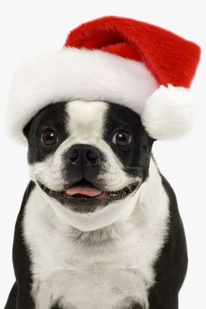 terriers: Boston Terrier in a red christmas hat