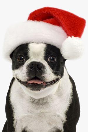 cappello natale: Boston Terrier in un cappello rosso di Natale