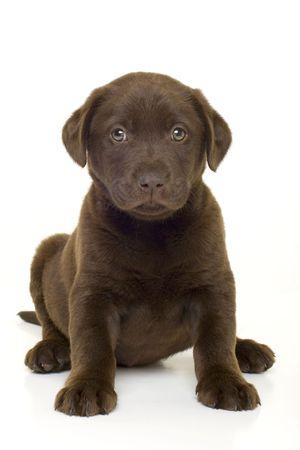 화이트 초콜릿 래브라도 리트리버 강아지의 초상화 스톡 콘텐츠