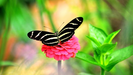 Glowing Butterfly on pink  flower.. Stock Photo