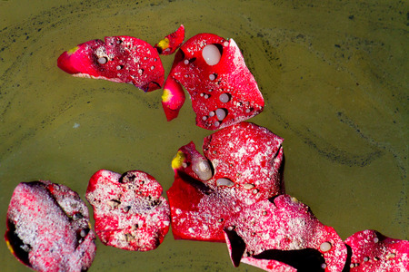loved: Close up of rose petals floating on a lake with the ashes of a loved one.
