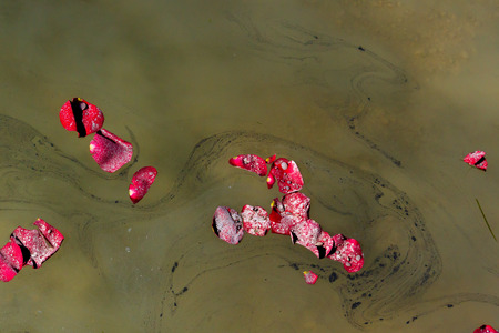 groupings: Groupings of Rose Petals scattered with the ashes of a loved one float by on a lake during a memorial service.