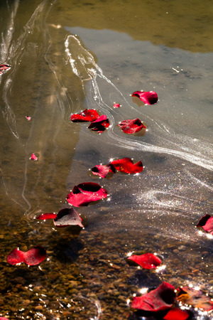 in loved: Rose petals and the ashes of a loved one float on lake water after a memorial service.