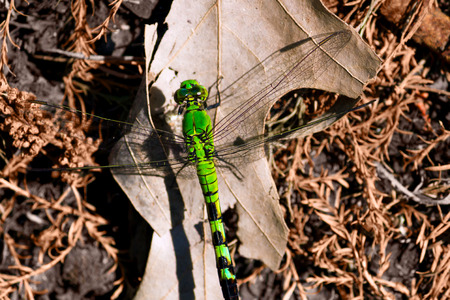 bristles: A large, green dragonfly perches on a bed of dry leaves and pine bristles.