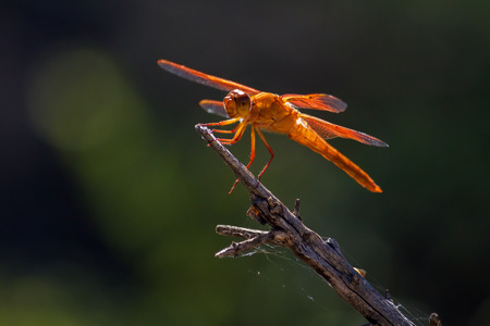segmented bodies: A large male Flame Skimmer dragonfly perches on a branch by a pond as he catches and eats mosquitos.  He seems to be grinning at the camera with a big, happy face eye and smile.