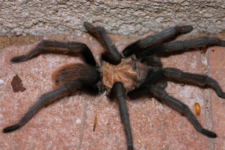 A male desert tarantula hunches up in a corner on a brick patio in the Sonoran desert.  You can see one of his Mating hooks and his tiny sets of eyes. Stock fotó