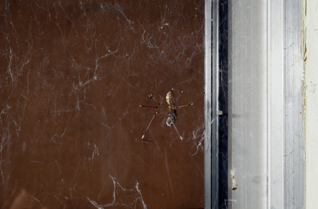 golden orb weaver: A common orb spider eats a fly that it has caught and wrapped in a web. Stock Photo