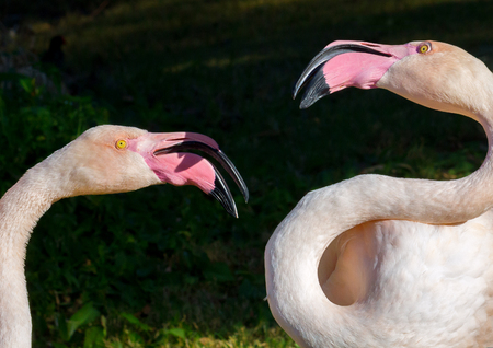 Two flamingos squabble in the bright sunlight.  Their bright yellow eyes look a bit wild.