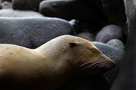 A young sea lion lays asleep in the mouth of a cave where he is camouflaged against some rocks.  His brown fur, ear, and whiskers give his identity away.  There are patches where his fur is wearing off. Banco de Imagens
