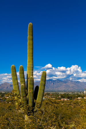 A saguaro cacus stands tall on A Mountain in Tucson, Arizona with the city of Tucson and the Catalina Mountain range in the background.  The sky is blue with puffy, white clouds forming over the mountains.