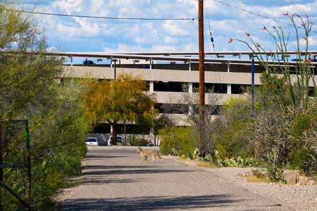 A coyote crosses a paved hiking path in Tucson, Arizona at the base of A Mountain with a busy parking garage in the background.  Wildlife walking through civilization.