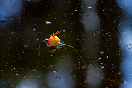 Orange Flame Skimmer Dragonfly sits on an orange fishing bobber.  They both float on a still Lake Bistineau with bits of tree debris all around.  There are bubbles all around. Banco de Imagens