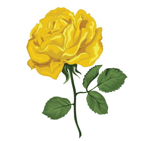 yellow rose: Yellow rose isolated  Illustration