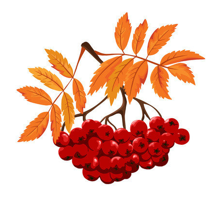 ashberry: Ashberry isolated with autumn leaves