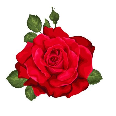 rosas rojas: Hermoso se levantó aislado en blanco. Perfecto para las tarjetas de felicitación de fondo y las invitaciones de la boda, cumpleaños, día de San Valentín