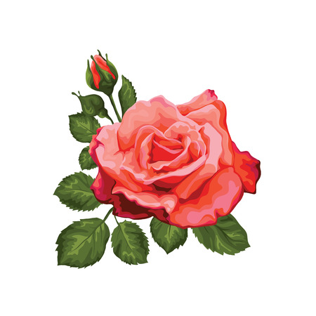 Beautiful rose isolated on white. Perfect for background greeting cards and invitations of the wedding, birthday, Valentine Vector