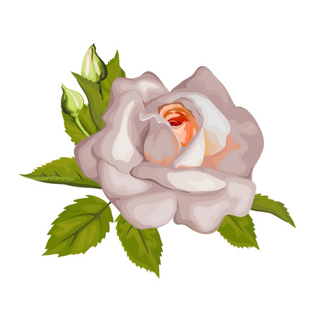 pedicle: Beautiful rose isolated on white. Perfect for background greeting cards and invitations of the wedding, birthday, Valentine Day Illustration