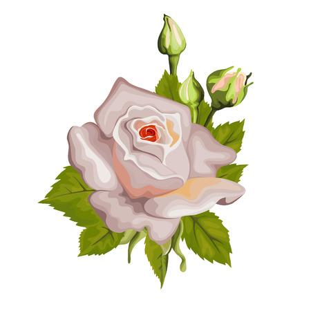 pedicle: Beautiful rose isolated on white.