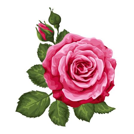 stem: Belle rose, isolé sur blanc.