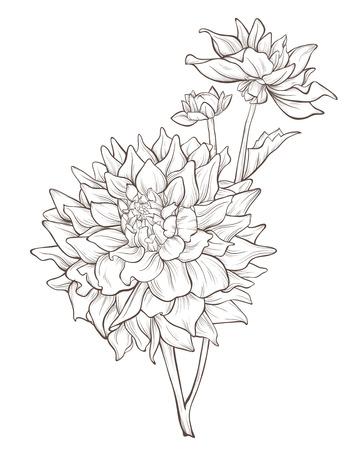 flor aislada: flor de la dalia aislado en fondo blanco. Vectores