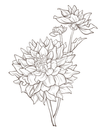 dahlia  flower  isolated on white background.