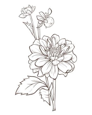 dalia: flor de la dalia aislado en fondo blanco. Vectores