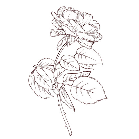 Vector rose flower isolated on white background. Element for design. Hand-drawn contour lines and strokes. Illustration