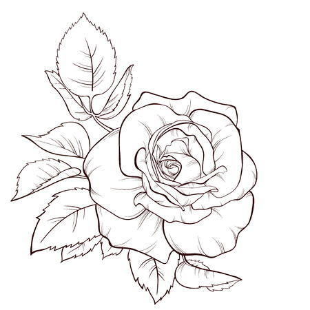 Vector rose flower isolated on white background. Element for design. Hand-drawn contour lines and strokes. 向量圖像