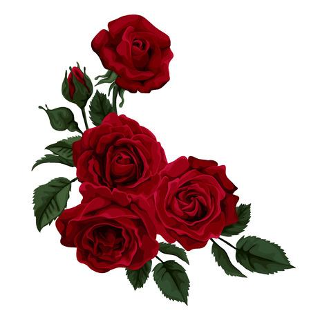 rot: Schöne Rose auf weißem Hintergrund.