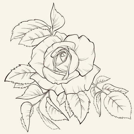 Vintagerose flower. Element for design. Hand-drawn contour lines and strokes.