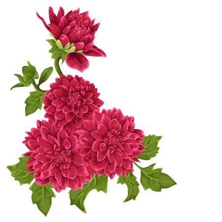 dahlia: Flower isolated. Dahlia. Illustration