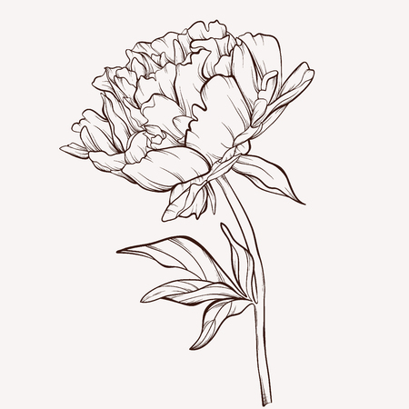 Peony flower. Vettoriali