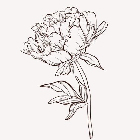 Peony flower. Vectores
