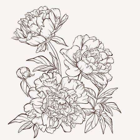 flower drawings: Blossoming peony flowers on white.